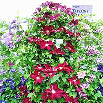 Amazon Climbing Clematis Seeds Flowers Clematis Vine Seeds