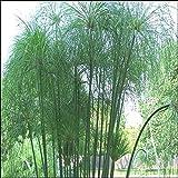 10 samen echter cyperus papyrus gypt papierpflanze zypergras garten. Black Bedroom Furniture Sets. Home Design Ideas