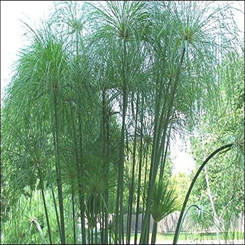 Tropica - Plantes Aquatiques - Cyperus papyrus - 15 Graines