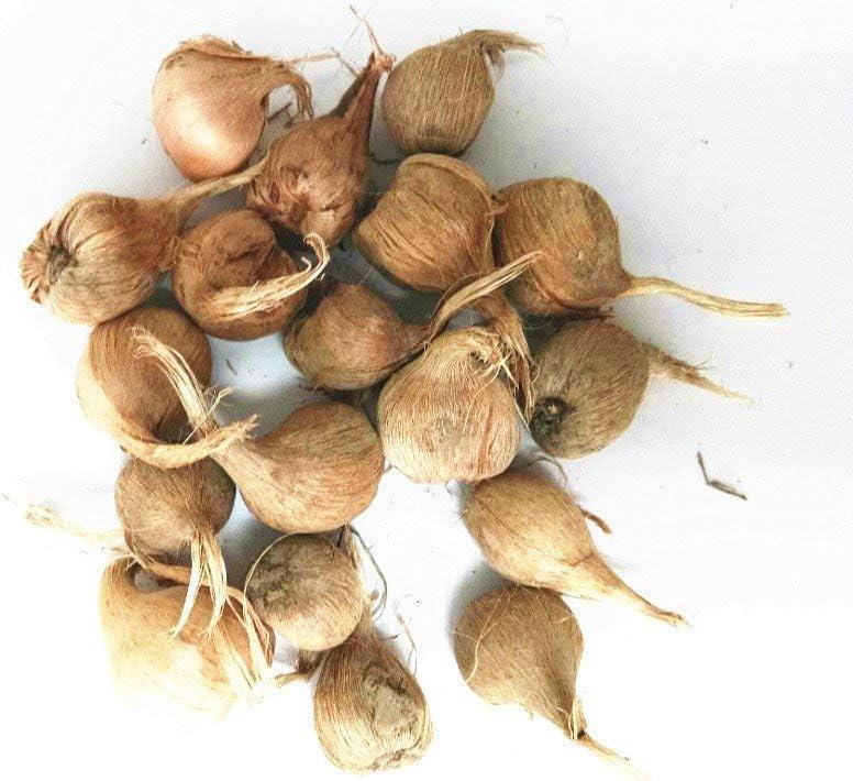 ASTONISH SEEDS: Los verdaderos bulbos de azafrán, irán azafrán, (semillas no azafrán), bulbos de flores, feliz Alegría Flores, plantas de los bonsai para jardín-2bulbs