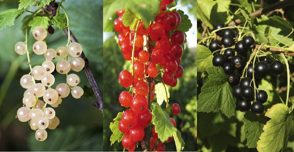 3 Mixed Currant Bushes - White, Red & Blackcurrant - Multi-stemmed Plants 3fatpigs® beechwoodtrees 3fatpigs®
