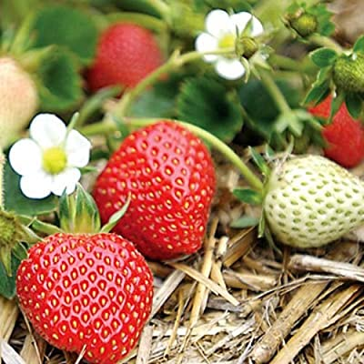 100 Quinault Strawberry Seeds