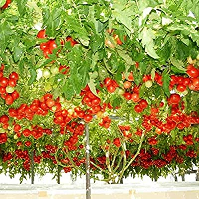 Italian Tree Tomato Seeds - 5+ Rare Non-GMO Organic Heirloom Garden Seeds in FROZEN SEED CAPSULES for the Gardener & Rare Seeds Collector - Plant Seeds Now or Save Seeds for Years