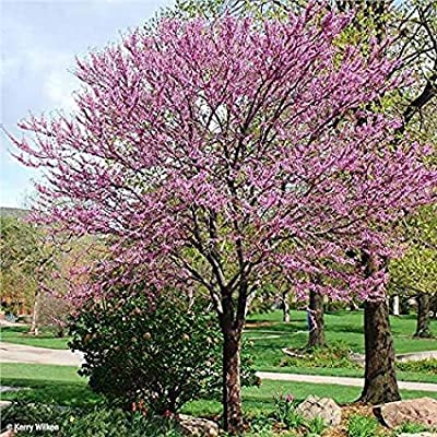 Pixies Gardens (1 Gallon, Potted) Redbud Tree, red Buds Open into Beautiful Purple Pink Flowers Appearing All Over The Tree and Even The Trunk in Early Spring : Garden & Outdoor