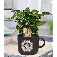 BALDUR-Garten Coffea Arabica im Barista Keramiktopf, 1 Kaffee-Pflanze Kaffeebaum Kaffeestrauch