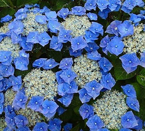 Hydrangea macrophylla Blaumeise 15cm Pot Size