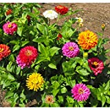 David's Garden Seeds Flower Zinnia California Giants OS0987 (Multi) 500 Non-GMO, Heirloom Seeds