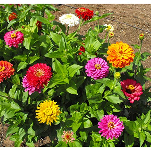 David's Garden Seeds Flower Zinnia California Giants OS0987 (Multi) 500 Non-GMO, Heirloom Seeds ()