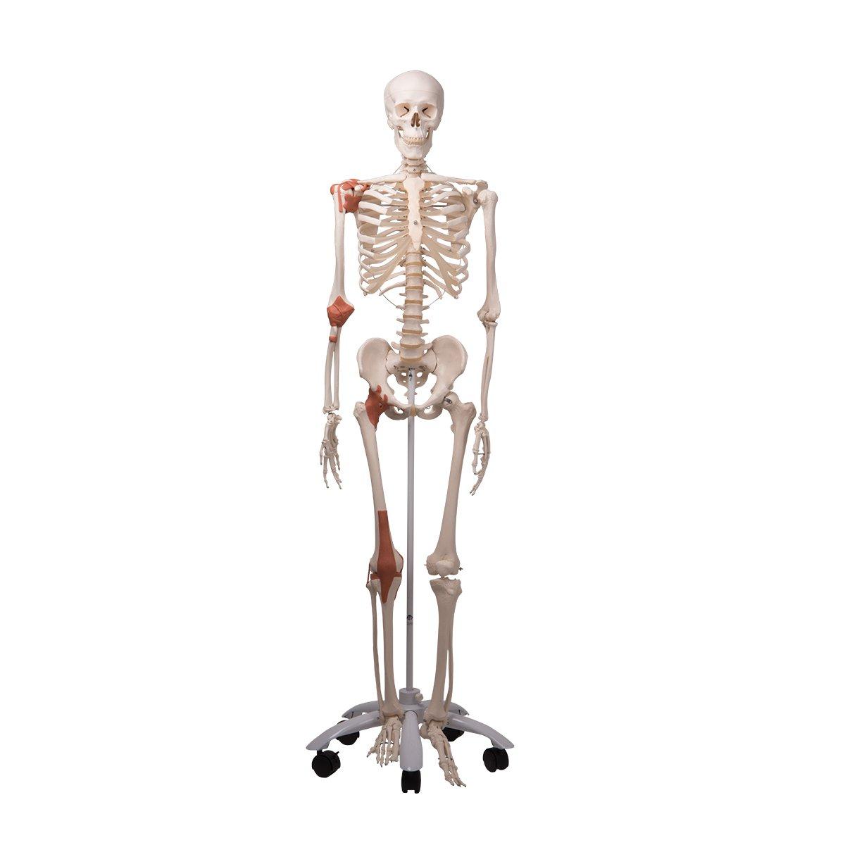 3B Scientific Skelett mit Gelenkbändern auf 5-Fuß-Rollenstativ ...