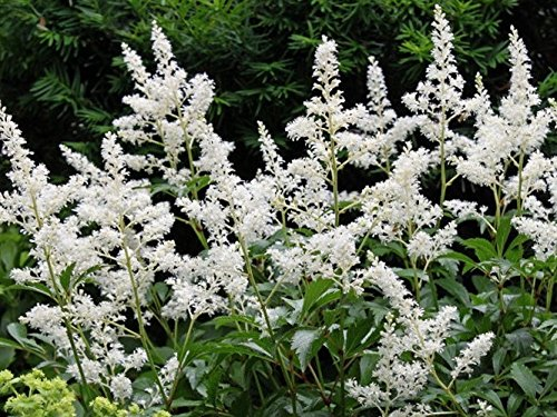 Bridal Veil White Astilbe (False spirea) - Live Plant - Full Gallon Pot