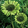 'Green Jewel' Echinacea Coneflower, 100 Seeds, 2-layer of green outer petals a cluster of green center petals