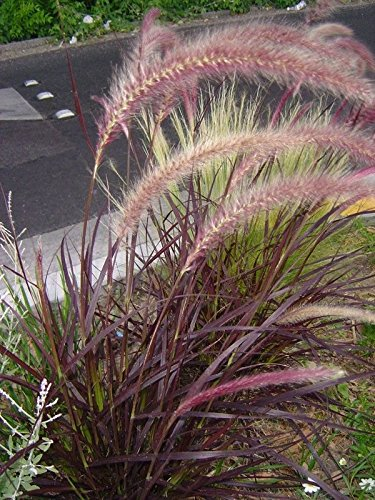GRASS - FOUNTAIN - RED - 10 PLANTS - 2.75'' POT - ZONE (7 & 8) 9 - 10 - LINERS by joescrazyplants