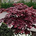 Japanese Maple Bloodgood Tree Seeds (Acer palmatum) 10+Seeds