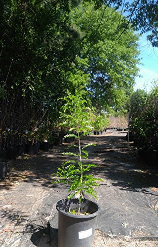 HONEY LOCUST TREE - 2 Year Old