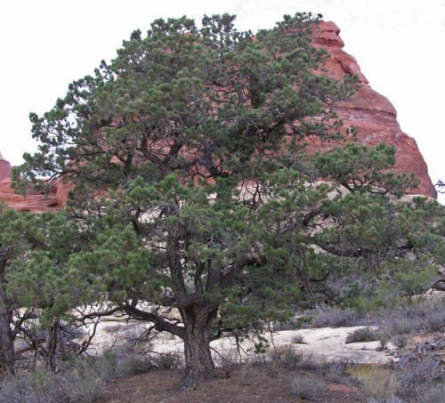 (Colorado Pinyon Pine, Pinus Edulis, Tree 10 Seeds)