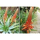 TREE ALOE 10 Seeds (Aloe arborescens) Flowering Succulent- PERENNIAL MEDICINE PLANT
