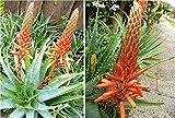 TREE ALOE Seeds (Aloe arborescens) Flowering Succulent- PERENNIAL MEDICINE PLANT