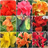 CANNAS-The Works Collection 22 Large 4-6 Eye Bulbs Labeled by Variety Name