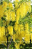 Golden Chain Tree Laburnum anagyroides Live Potted Tree 24-36 Inches Tall