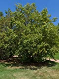 """American Hornbeam - Carpinus Caroliniana - Hardy Established Roots - 4"""" Potted - 3 Plugged Plants by Growers Solution"""