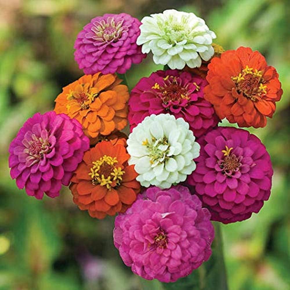 David's Garden Seeds Flower Zinnia Mixed Colors Thumbelina 1145 (Multi) 100 Non-GMO, Heirloom Seeds