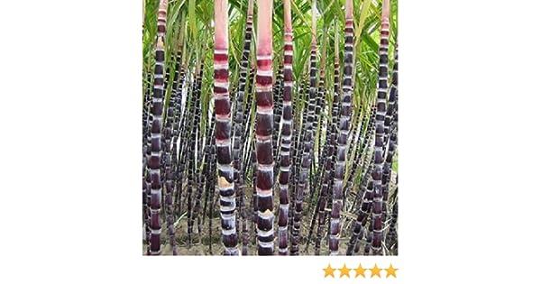 botanical description of sugarcane