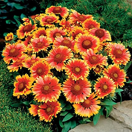 Amazon 200blanket flower american native wildflower perennial 200blanket flower american native wildflower perennial butterfles bees garden mightylinksfo