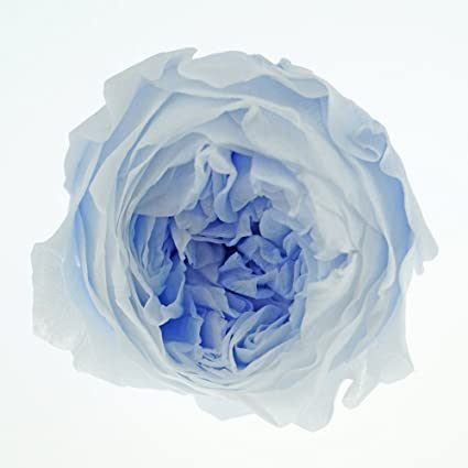 b9c63bb6c10f Amazon.com  INVISIKAYAK Preserved fresh flower Austin Roses Flower ...