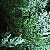 Port Orford Cedar Tree Seeds (Chamaecyparis lawsoniana) (120)