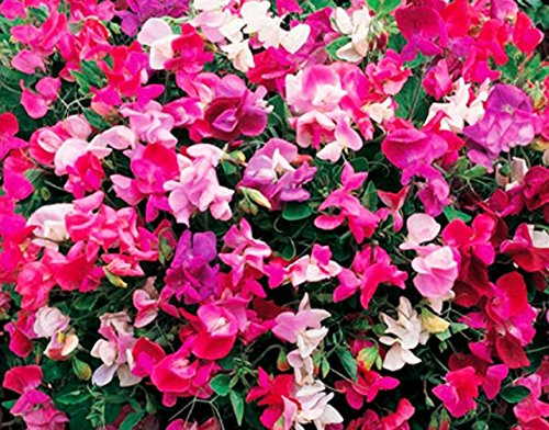 Pink Blend Sweet Pea 35 Seeds UPC 650327337138