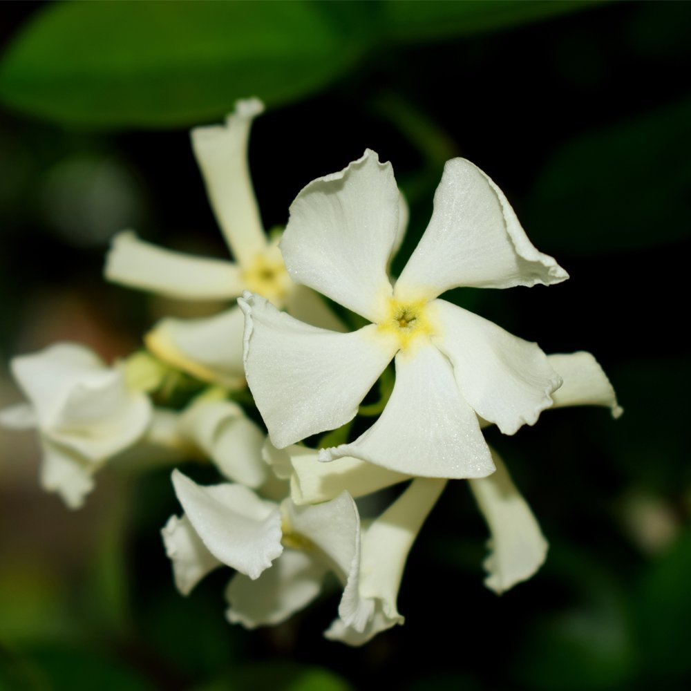 Star Jasmine Evergreen Climbing Garden Plant for Trellis, Fences & Obelisks Baring Fragrant White Summer Flowers, 1 x Trachelospermum Jasminoides in a 2L Pot by Thompson & Morgan