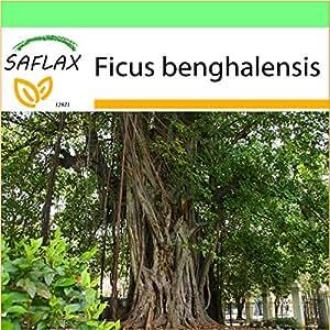 SAFLAX - Garden to Go - Higuera de Bengala - 20 semillas - Ficus benghalensis