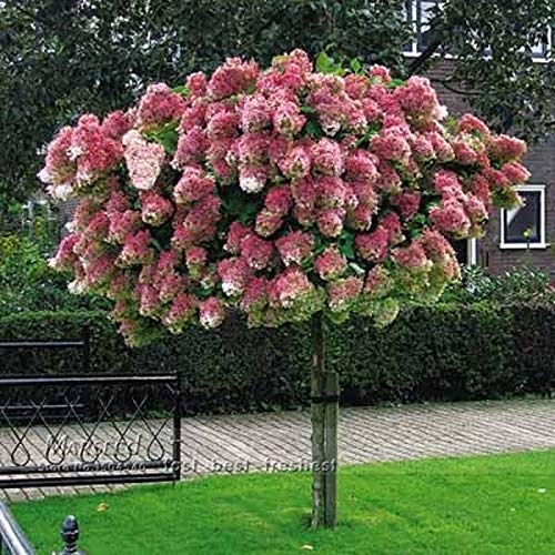 (Go Garden ZLKING 20 Pcs Very Rare Vanilla Strawberry Hydrangea Flowers Bonsai Tree Home Garden Plant Bonsai)