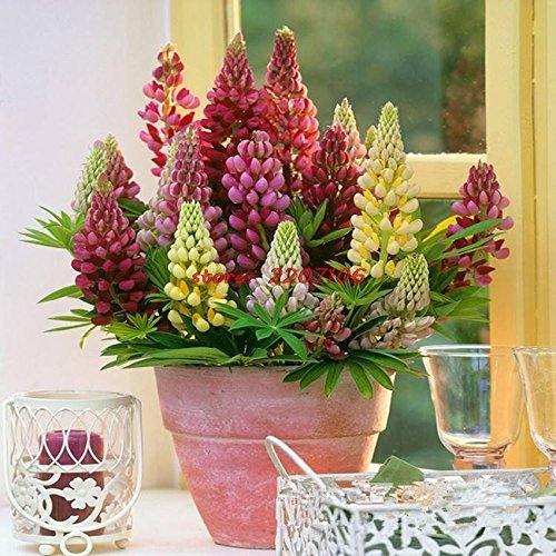 - Flower Seeds: Lupine Exotic Seeds everblooming Flowers Garden [Home Garden Seeds eco Pack]