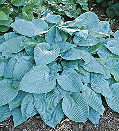 Amazoncom Cheap Hosta Seeds Hosta Hadspen Blue Seeds Beautiful