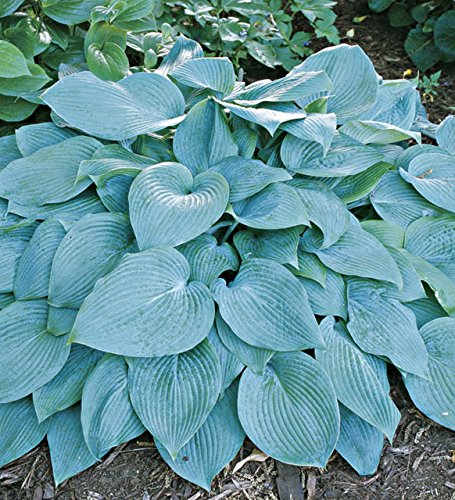 Cheap!!! Hosta Seeds Hosta Hadspen Blue Seeds Beautiful Shade Perennials Plantain Lily Flower Bonsai Home Garden Ground Cover Plant Seed