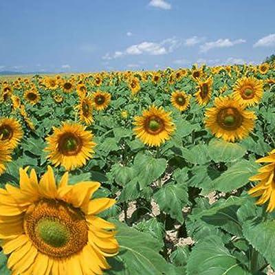Feriay Seeds-Mixed Orchid Flower Seeds Sunflower/Zinnia Elegans Bonsai Flower Seeds Garden Flowers: Clothing