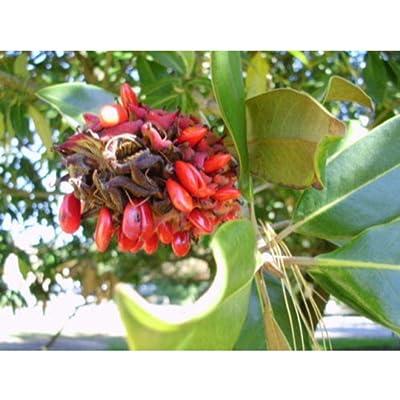 20 Southern Magnolia Seeds #RDR02 : Garden & Outdoor