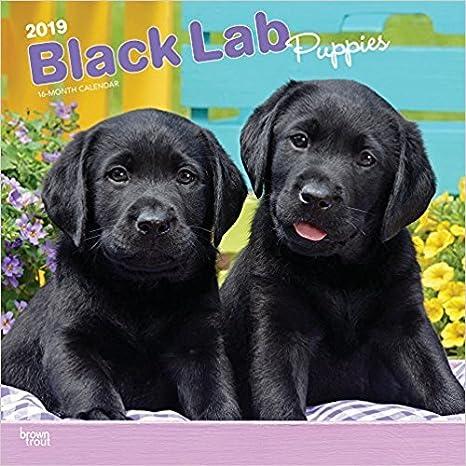 Amazon com : 2019 BLACK LAB RETRIEVER PUPPIES WALL CALENDAR