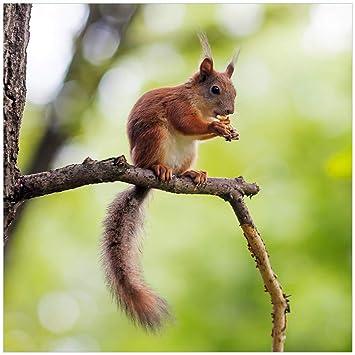 Amazon.de: Wallario Glasbild Eichhörnchen auf Einem AST - 50 x 50 cm ...