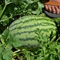 Watermelon Garden Seeds - Striped Klondike Blue Ribbon - Non-GMO, Heirloom Vegetable Gardening Fruit Melon Seeds