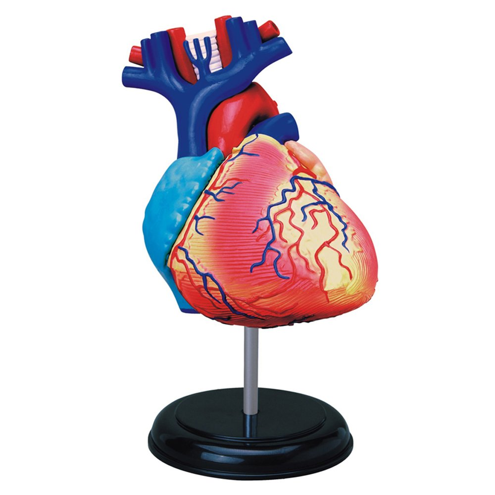 Amazon Tedco Human Anatomy Heart Anatomy Model Toys Games