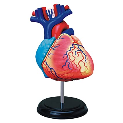 Amazon.com: TEDCO Human Anatomy - Heart Anatomy Model: Toys & Games