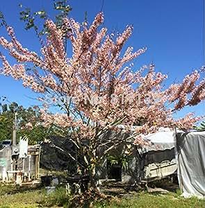 Herencia de 10 semillas de Cassia fístula ducha de oro del árbol de la flor amarilla brillante Bonsai tropical