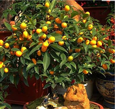 50pcs Edible Fruit Mandarin Bonsai Tree Seeds Citrus Seed Orange Seeds Popular