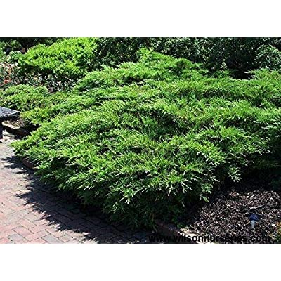 Kallay Juniper Qty 30 Live Plants Evergreen Ground Cover : Garden & Outdoor