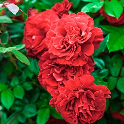 Lady in Red Climbing Rose, Live Bareroot Plant, Red Color Flowers (1-Pack) : Garden & Outdoor