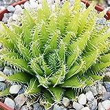 Aloe haworthioides Cactus Cacti Succulent Real Live Plant