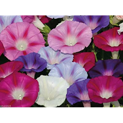 100 MORNING GLORY FLOWER SEEDS ~ MIXED COLOR- Morning Glory Vine, Easy to Grow : Garden & Outdoor