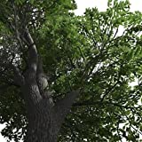 25 Seeds, American White Ash Tree Seeds